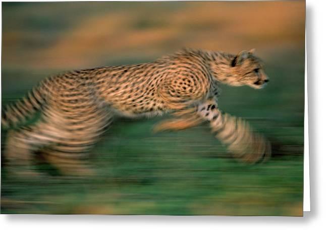 Cheetah Running Greeting Cards - Cheetah Running Africa Greeting Card by Winfried Wisniewski