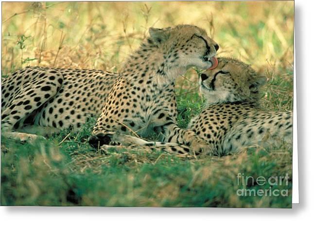 Protected Species Greeting Cards - Cheetah Siblings Greeting Card by Gregory G. Dimijian
