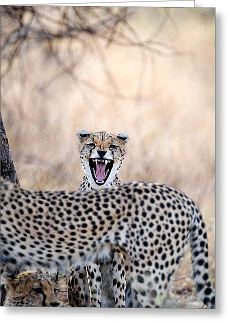 Rift Greeting Cards - Cheetahs Acinonyx Jubatus Resting Greeting Card by Panoramic Images