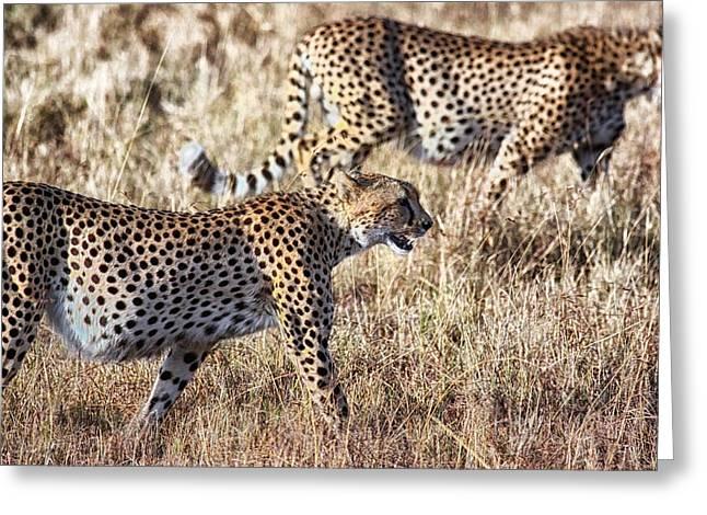 Cheetah Photographs Greeting Cards - Cheetahs in the Savannah Greeting Card by Mountain Dreams