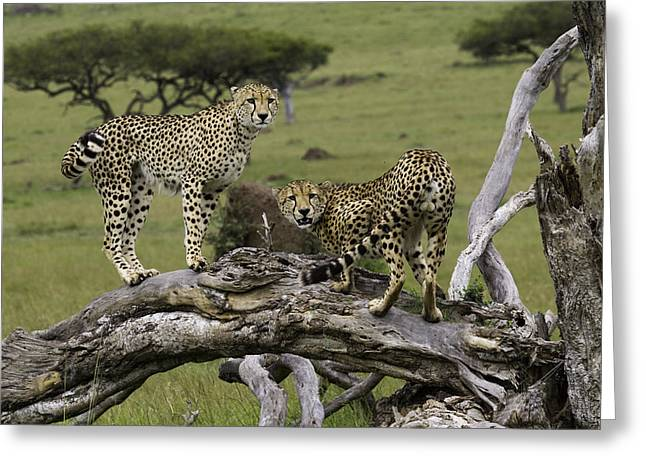 Cheetahs On A Fallen Tree Greeting Card by Simon Fletcher