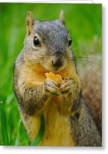 Fox Squirrel Greeting Cards - Cheez-It Lover Greeting Card by Ester  Rogers