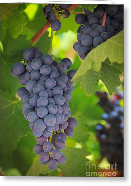 Winemaking Photographs Greeting Cards - Chelan Blue Grapes Greeting Card by Inge Johnsson