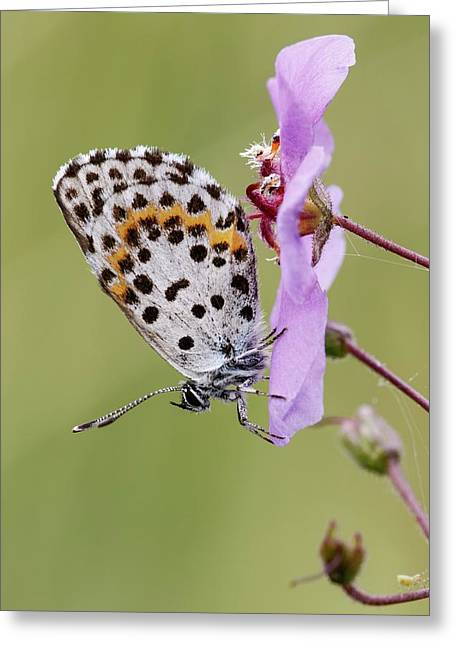 Chequered Blue Butterfly Greeting Card by Heath Mcdonald