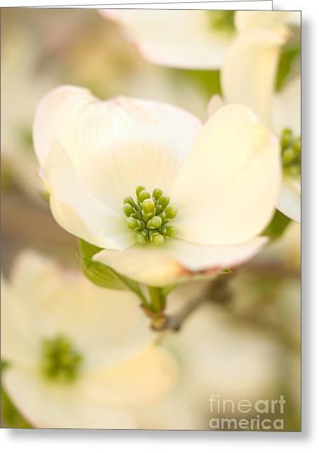 Cherokee Princess Dogwood Blossom In Beige Greeting Card by Iris Richardson