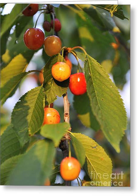 Cherries On Branch At Spring Greeting Card by Sami Sarkis