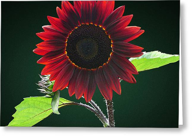 Gardeners Greeting Cards - Cherry and Chocolate Sunflower Greeting Card by Susan Savad