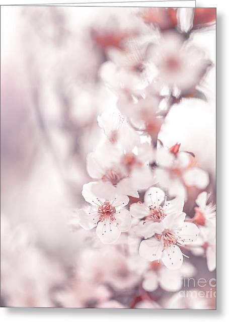 Apple Art Greeting Cards - Cherry blossom Greeting Card by Anna Omelchenko