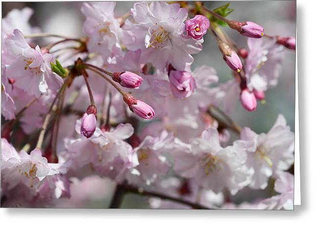 Pink Blossoms Greeting Cards - Cherry Blossom Blooms Greeting Card by Lisa  Phillips