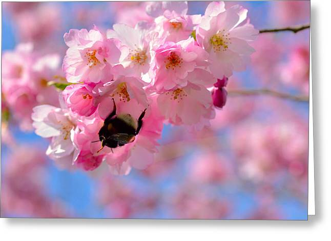 Apple Art Greeting Cards - Cherry blossom branch  Greeting Card by Toppart Sweden