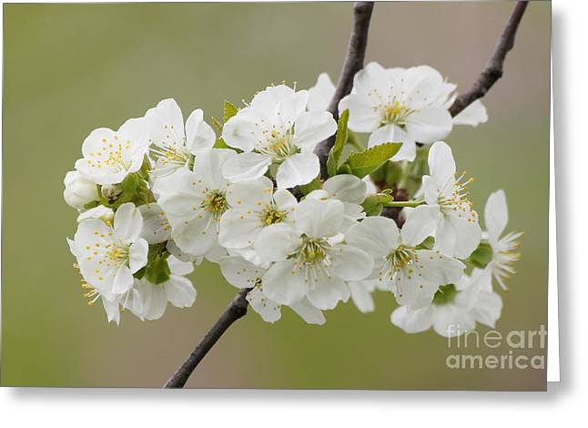 Reflections Of Infinity Llc Greeting Cards - Cherry Blossom Cluster Greeting Card by Robert E Alter Reflections of Infinity