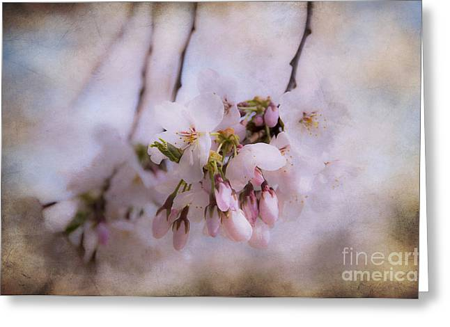 Live In Innocence Greeting Cards - Cherry Blossom Dreams Greeting Card by Terry Rowe