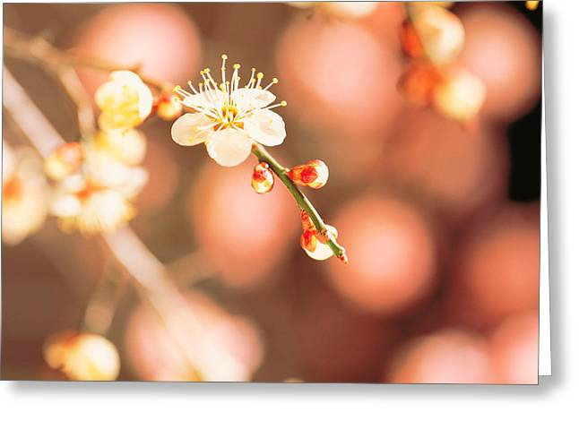 Close Focus Nature Scene Greeting Cards - Cherry Blossom In Selective Focus Greeting Card by Panoramic Images