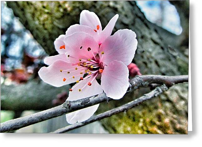New Thoughts Greeting Cards - Cherry Blossom  Greeting Card by Marianna Mills