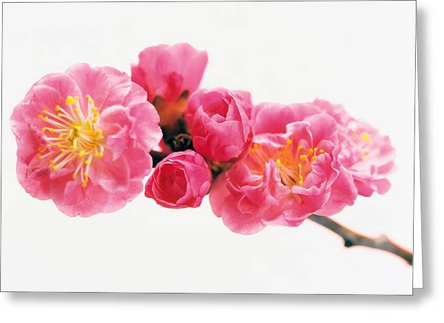Medium Pink Greeting Cards - Cherry Blossom Greeting Card by Panoramic Images