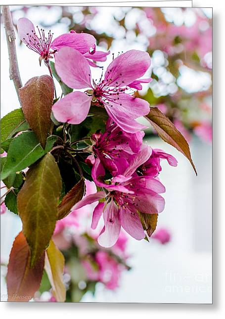Flora Greeting Cards - Cherry Blossom Pink Greeting Card by Arne Hansen