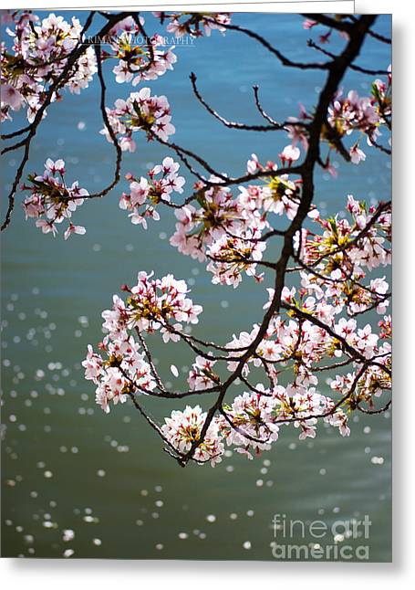 Tidal Photographs Greeting Cards - Cherry Blossom Greeting Card by Rima Biswas