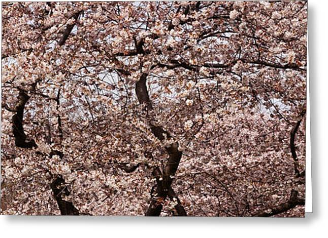 In-city Greeting Cards - Cherry Blossom Trees In Potomac Park Greeting Card by Panoramic Images