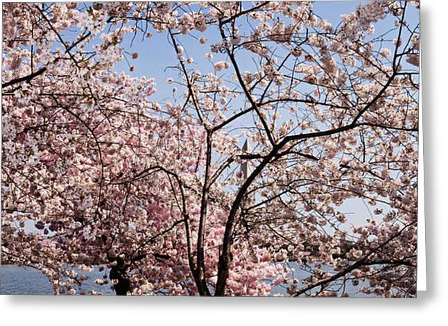 Flower Memorial Photography Greeting Cards - Cherry Blossom Trees Greeting Card by Panoramic Images