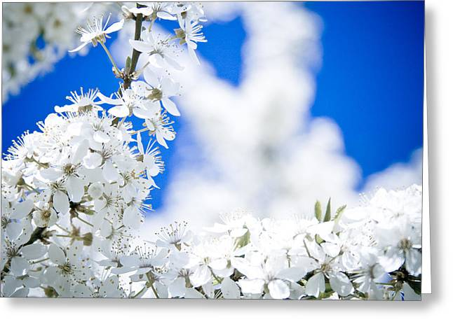Close Focus Nature Scene Greeting Cards - Cherry blossom with blue sky Greeting Card by Raimond Klavins