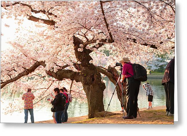 Cherry Blossoms 2013 - 006 Greeting Card by Metro DC Photography