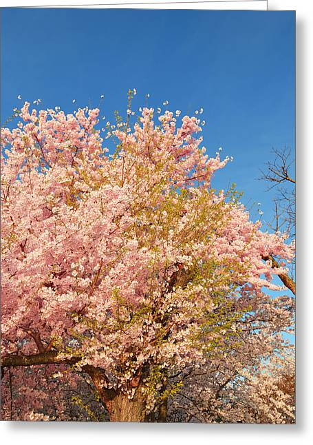 Tidal Basin Greeting Cards - Cherry Blossoms 2013 - 016 Greeting Card by Metro DC Photography