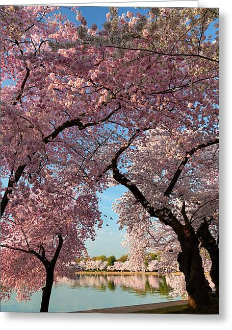 Cherry Blossoms Greeting Cards - Cherry Blossoms 2013 - 024 Greeting Card by Metro DC Photography