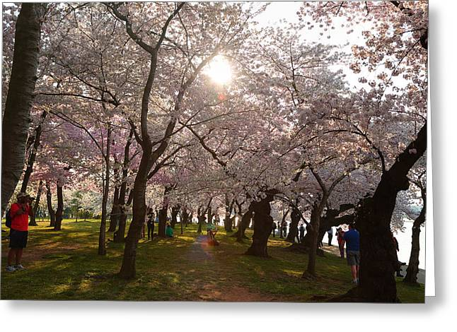 Washington Monument Greeting Cards - Cherry Blossoms 2013 - 027 Greeting Card by Metro DC Photography