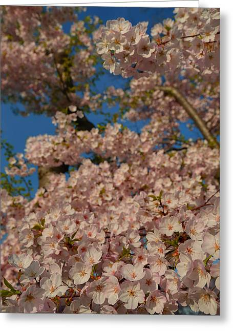 Cherry Blossoms 2013 - 034 Greeting Card by Metro DC Photography