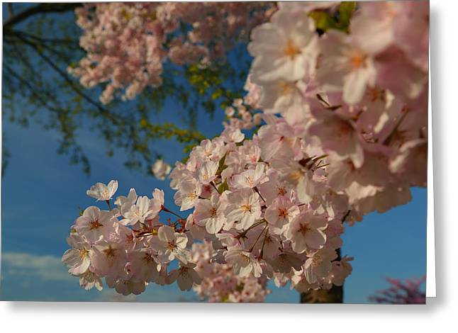 Washington Monument Greeting Cards - Cherry Blossoms 2013 - 035 Greeting Card by Metro DC Photography