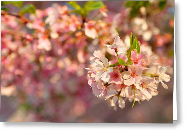 Tidal Basin Greeting Cards - Cherry Blossoms 2013 - 072 Greeting Card by Metro DC Photography