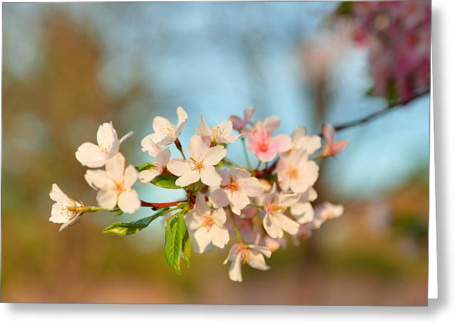 Cloud Greeting Cards - Cherry Blossoms 2013 - 073 Greeting Card by Metro DC Photography