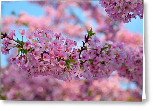 Photography Photographs Greeting Cards - Cherry Blossoms 2013 - 095 Greeting Card by Metro DC Photography