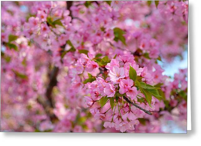 Cherry Blossoms 2013 - 096 Greeting Card by Metro DC Photography