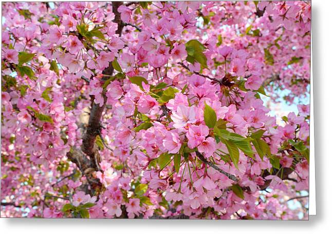 Cherry Blossoms 2013 - 097 Greeting Card by Metro DC Photography