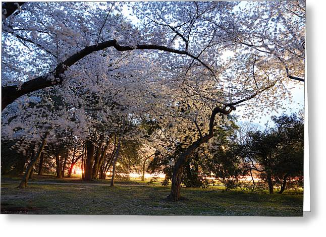 Cherry Blossoms 2013 - 101 Greeting Card by Metro DC Photography