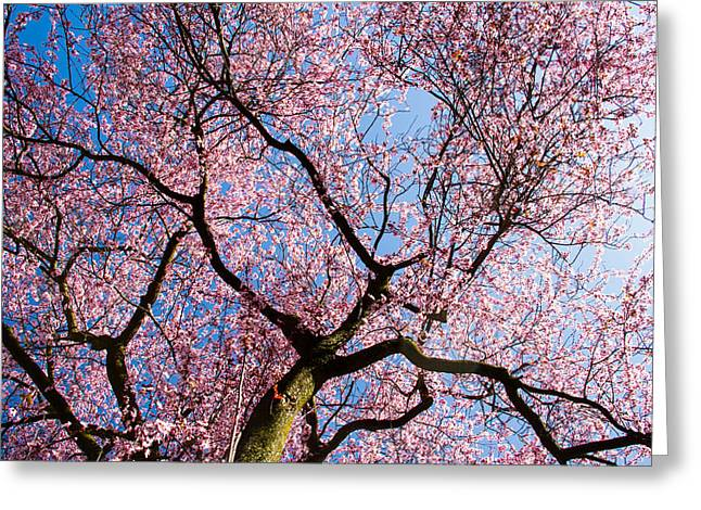 Haiku Greeting Cards - Cherry Blossoms all over Greeting Card by Kunal Mehra