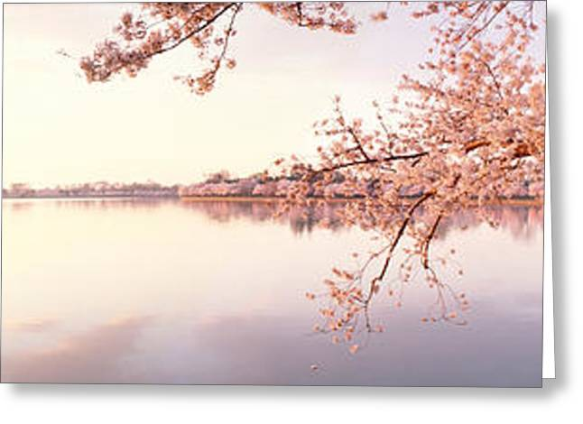 Tidal Basin Greeting Cards - Cherry Blossoms At The Lakeside Greeting Card by Panoramic Images