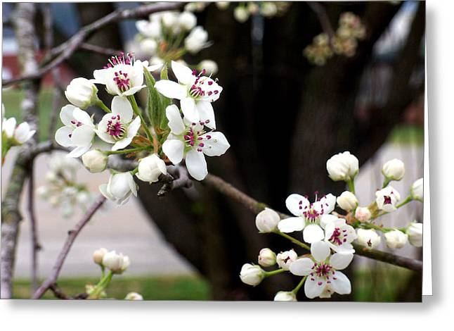"""flower Still Life Prints"" Greeting Cards - Cherry Blossoms Greeting Card by B L Hickman"