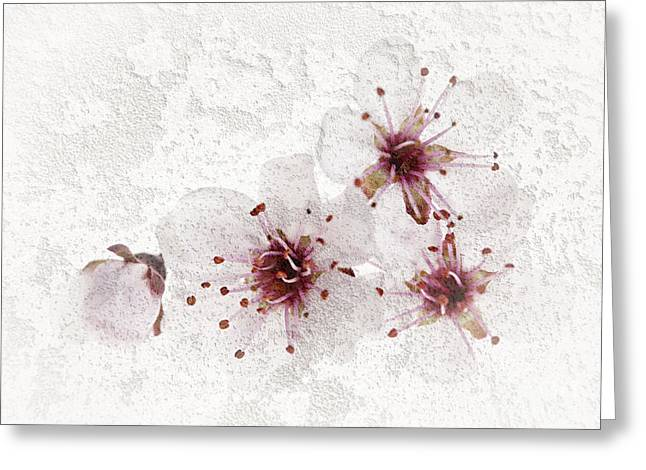 Flowering Greeting Cards - Cherry blossoms close up Greeting Card by Elena Elisseeva