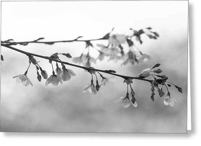 Soft Light Greeting Cards - Cherry Blossoms Greeting Card by Kyle Wasielewski