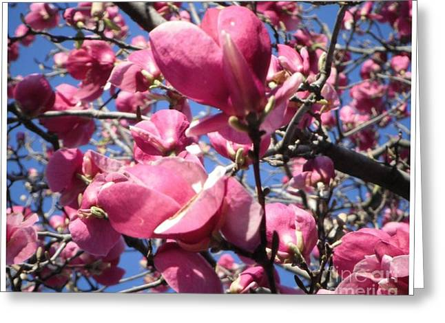 Fushia Greeting Cards - Cherry Blossoms May 16x20 Greeting Card by GJ Waller