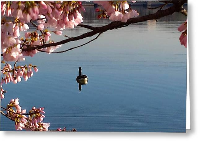 Washingtondc Greeting Cards - Cherry Blossoms Over the Tidal Basin Greeting Card by Debra Bowers