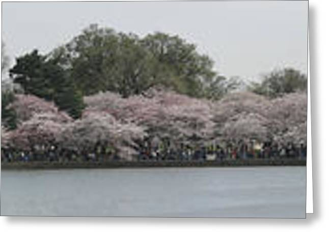White Greeting Cards - Cherry Blossoms - Panorama - Washington DC - 01133 Greeting Card by DC Photographer