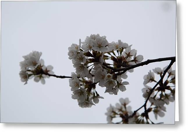 Usa Photographs Greeting Cards - Cherry Blossoms - Washington DC - 0113100 Greeting Card by DC Photographer