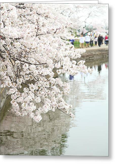 Bloom Greeting Cards - Cherry Blossoms - Washington DC - 0113104 Greeting Card by DC Photographer