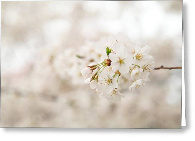 Japan Photographs Greeting Cards - Cherry Blossoms - Washington DC - 0113108 Greeting Card by DC Photographer