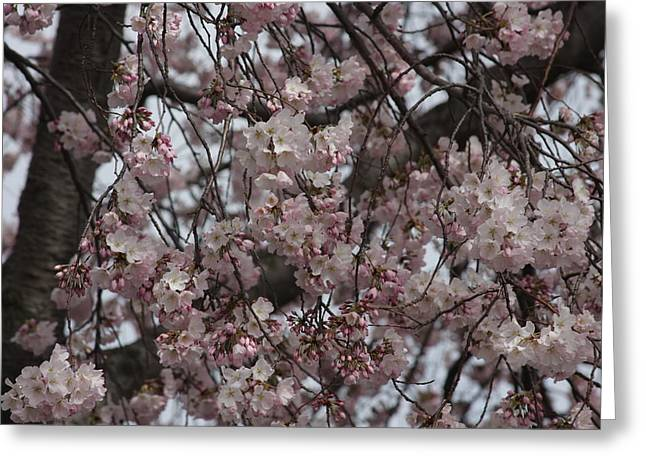 White Photographs Greeting Cards - Cherry Blossoms - Washington DC - 011311 Greeting Card by DC Photographer