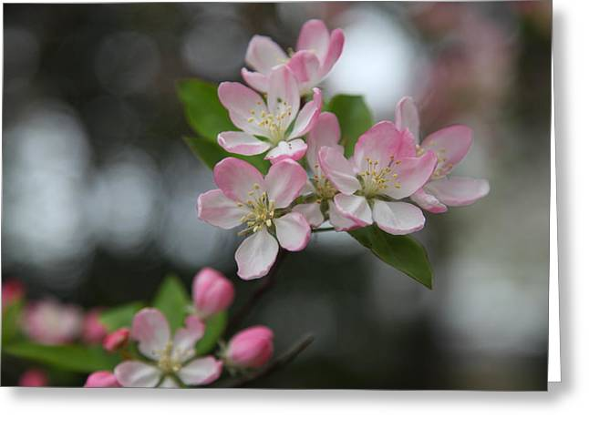 Flowering Greeting Cards - Cherry Blossoms - Washington DC - 0113110 Greeting Card by DC Photographer