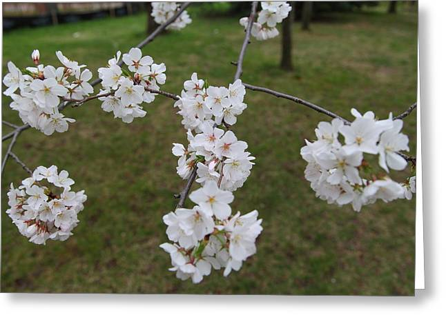 Botanical Greeting Cards - Cherry Blossoms - Washington DC - 0113116 Greeting Card by DC Photographer
